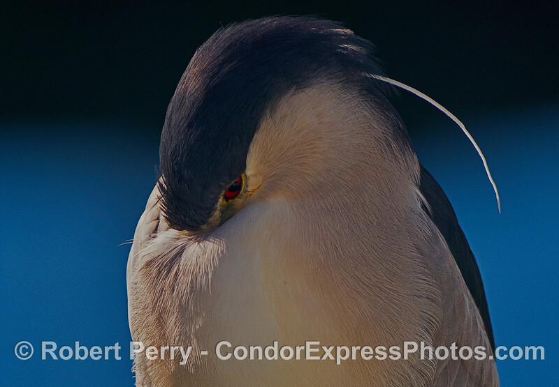 Sleeping black-crowned night heron....almost.