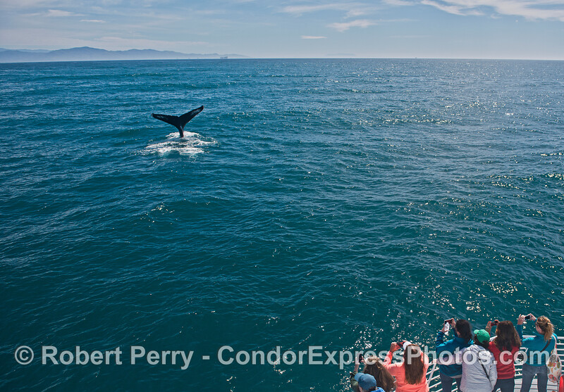 Tail flukes near the boat - friendly humpback.