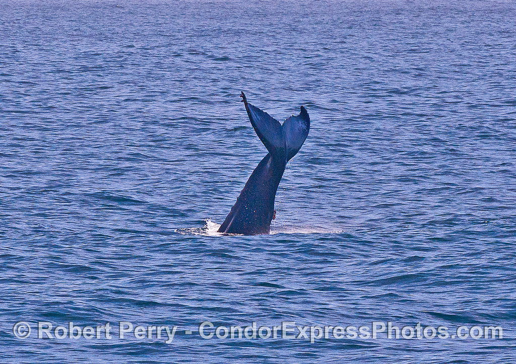 Image 1 of 2:  A lone humpback threw its tail multiple times and amazed us all.