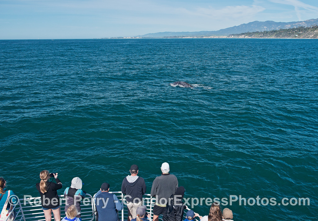 Gray whale close to boat.