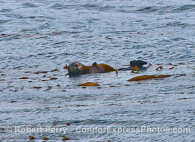 Image 2 of 2:  a lone sea otter at the southern limit of its species range.  In the kelp beds at Isla Vista.