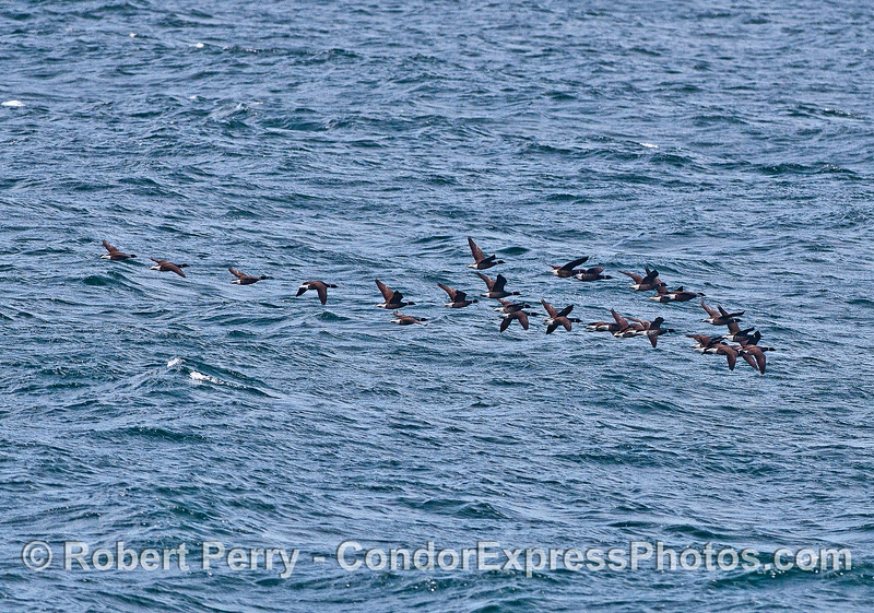 The brant, or sometimes brent, sea goose.   Flocks heading north to their summer grounds in the tundra.