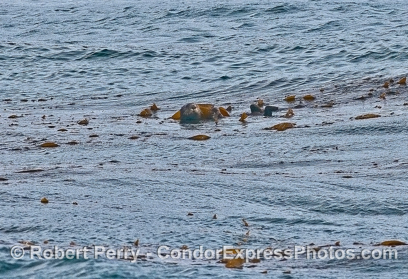 Image 1 of 2:  a lone sea otter at the southern limit of its species range.  In the kelp beds at Isla Vista.