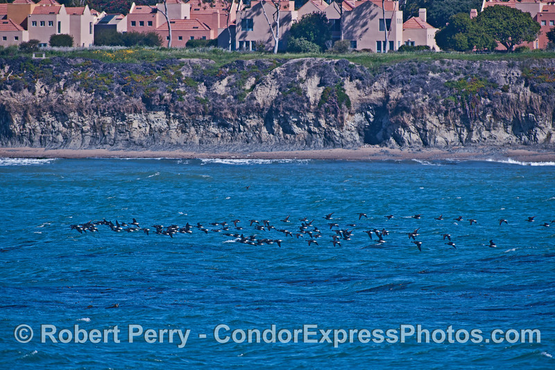 Image 1 of 2:  Brant, or brent, a large sea goose is shown on its northbound coastal migraton.