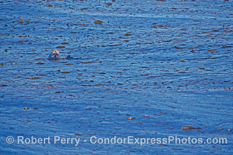 Image 2 of 2:  Sea otter in the kelp beds at Isla Vista - near Santa Barbara, CA.