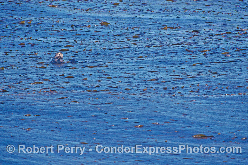 Image 2 of 2:  Sea otter in the kelp beds at Isla Vista - near Santa Barbara, CA.