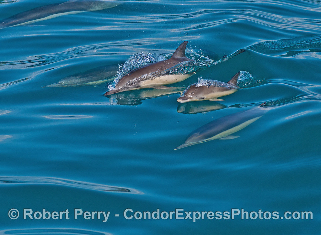 A mother long-beaked common dolphin and her calf.