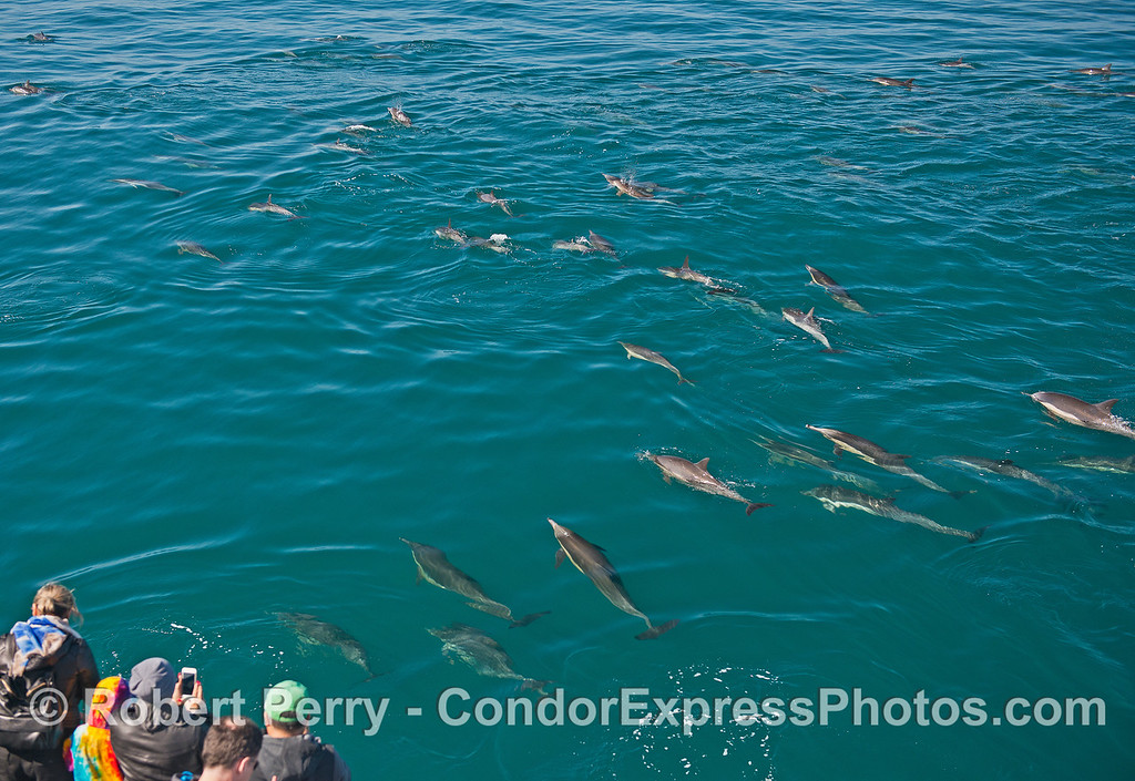 Part of a large group of long-beaked common dolphins that approached the boat.