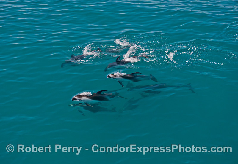 Group of Pacific white-sided dolphins.