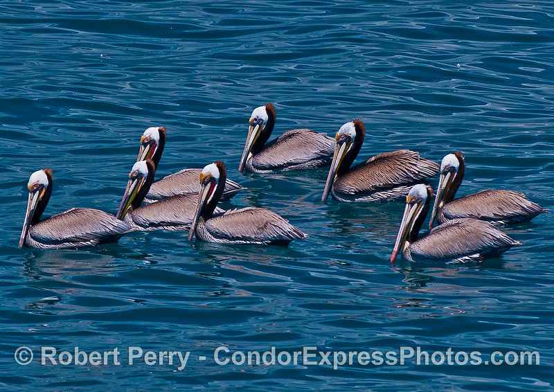 Eight brown pelicans and a partridge in a pear tree.  Sing it!