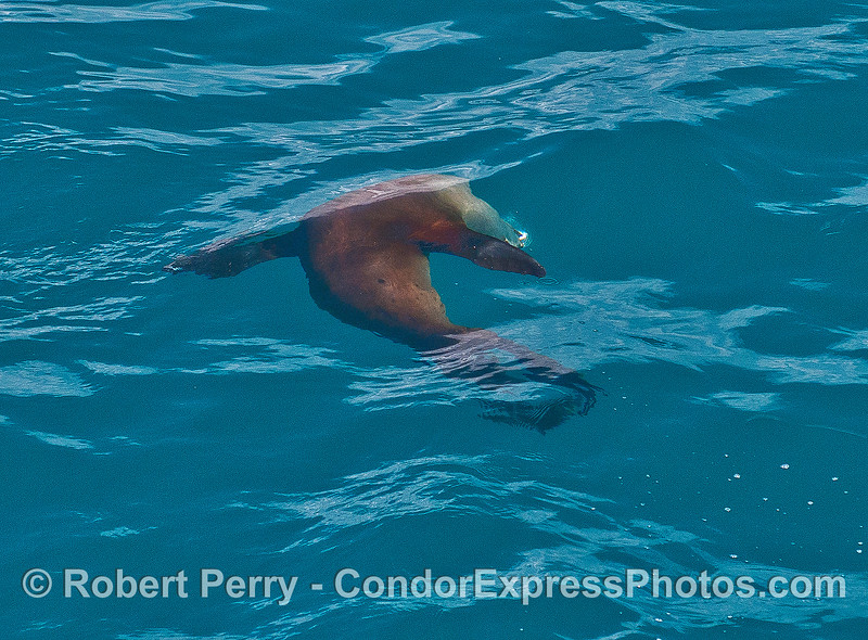 An arching California sea lion with a silvery anchovy in its mouth.