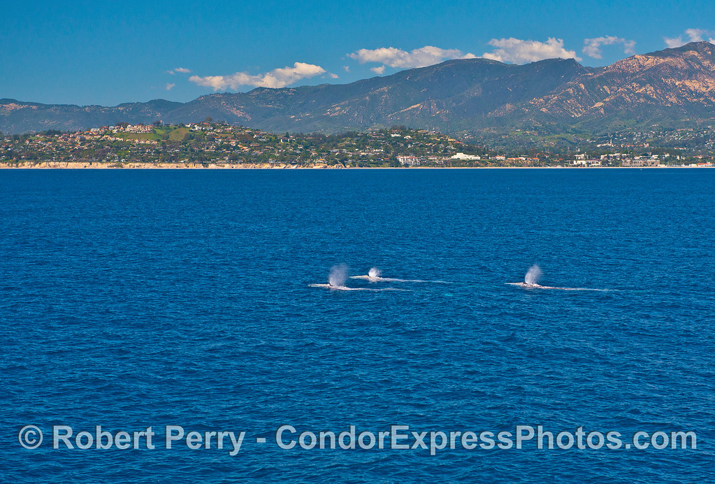 A trio of northbound migrating gray whales happened to be spouting all at the same time as they passed the city of Santa Barbara on a bright sunny day.