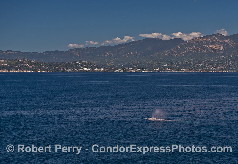 Gray whale passing by the city of Santa Barbara.
