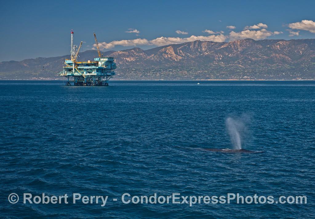 Humpback whale near Platform Hillhouse.