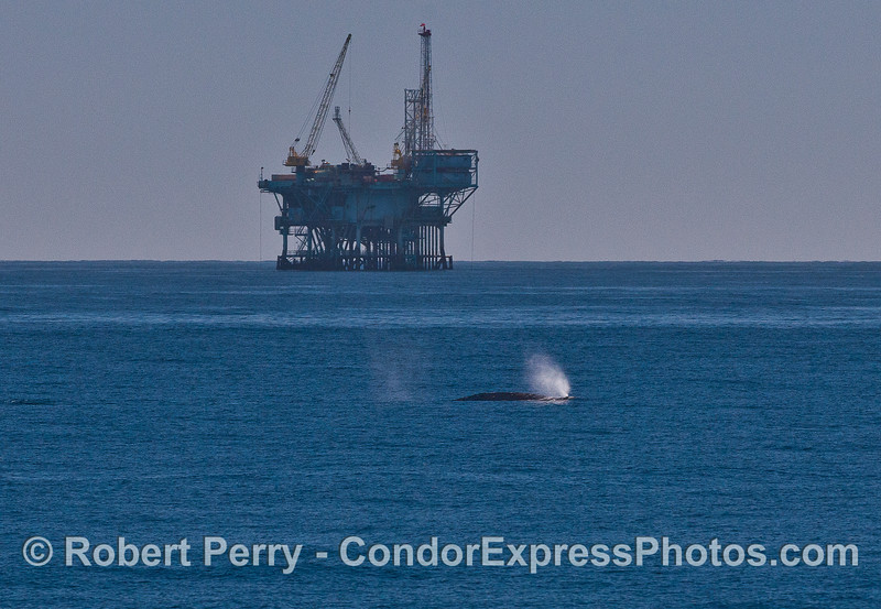 Gray whale passes by a Santa Barbara offshore oil platform.