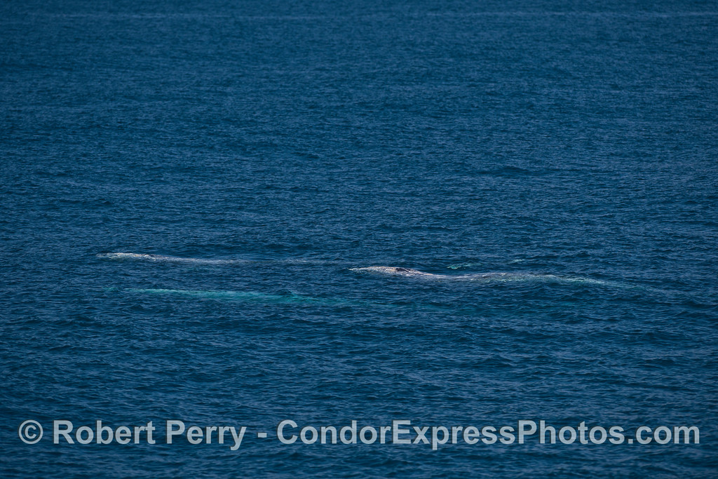 A trio of northbound gray whales.
