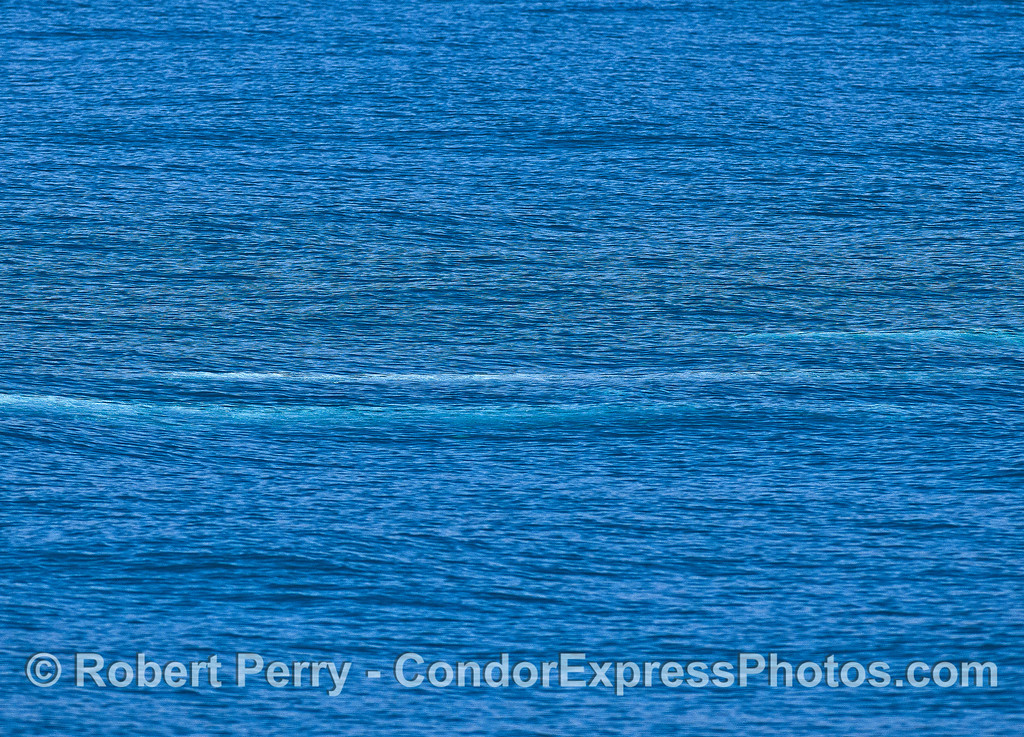 Three gray whales underwater - the blue streaks.