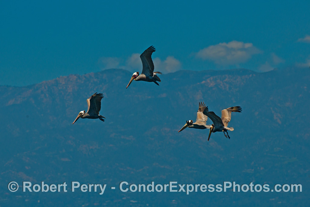 Four brown pelicans.