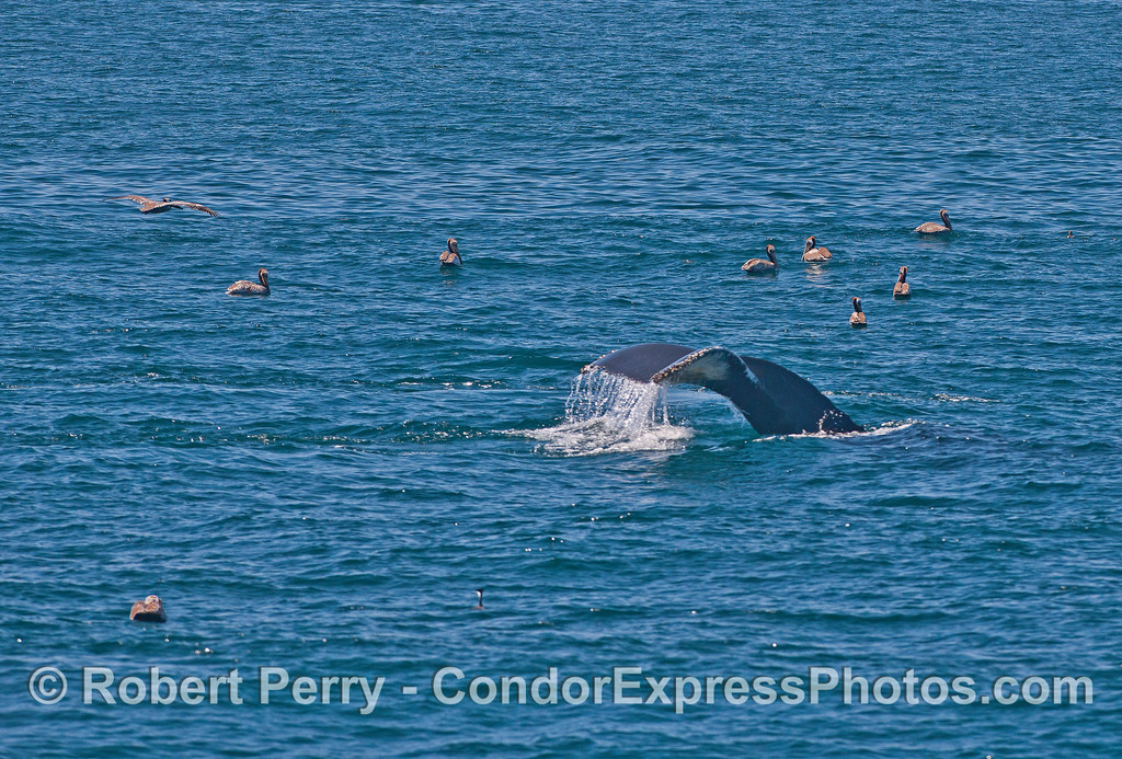 Humpback whale tail flukes and pelicans.