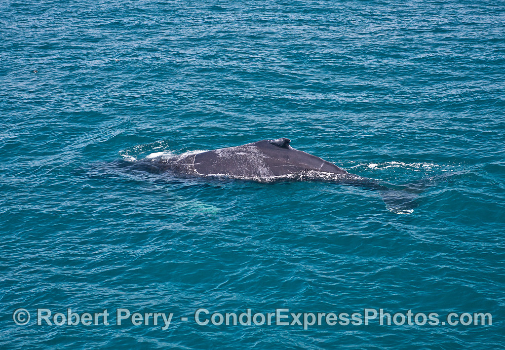 Full body of a humpback whale seen in fairly clear water.