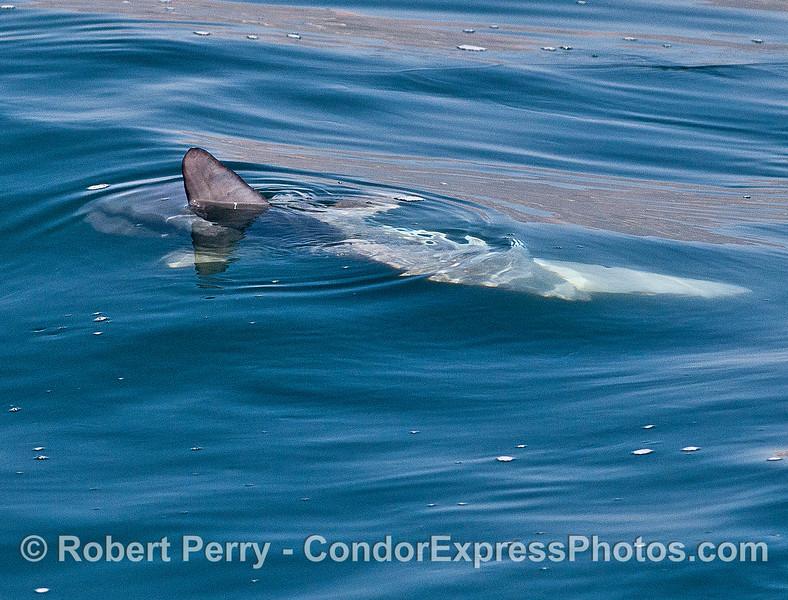 Not a shark...dorsal fin of a Mola mola.