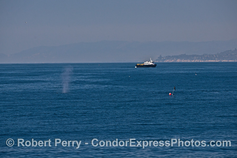A humpback whale, flags marking a gill net, and the crew boat Matthew tied astern to a mooring can, with Santa Barbara Point in back.