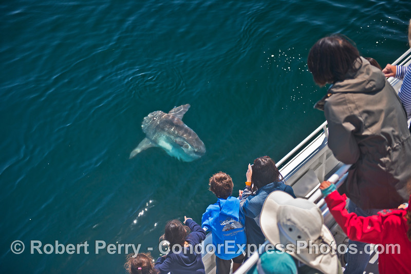 A friendly ocean sunfish or Mola mola, pays a visit to its fans.