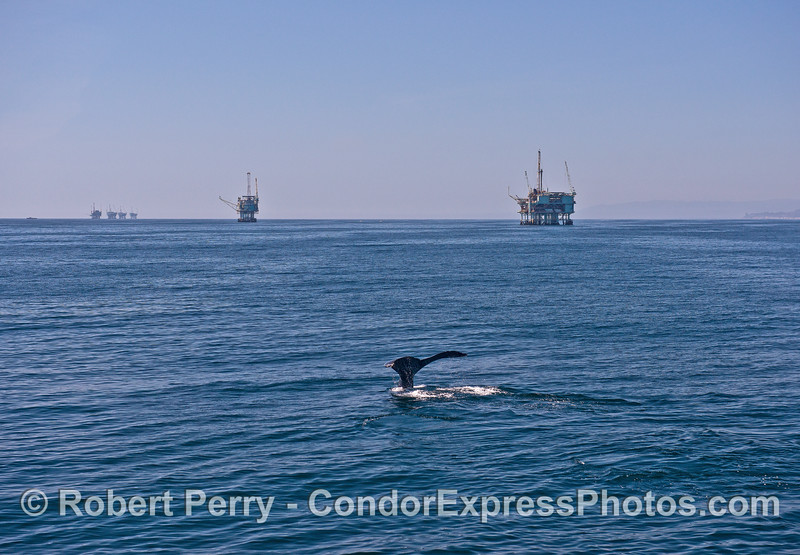 "The Santa Barbara ""rig line"" and a humpback whale tail."