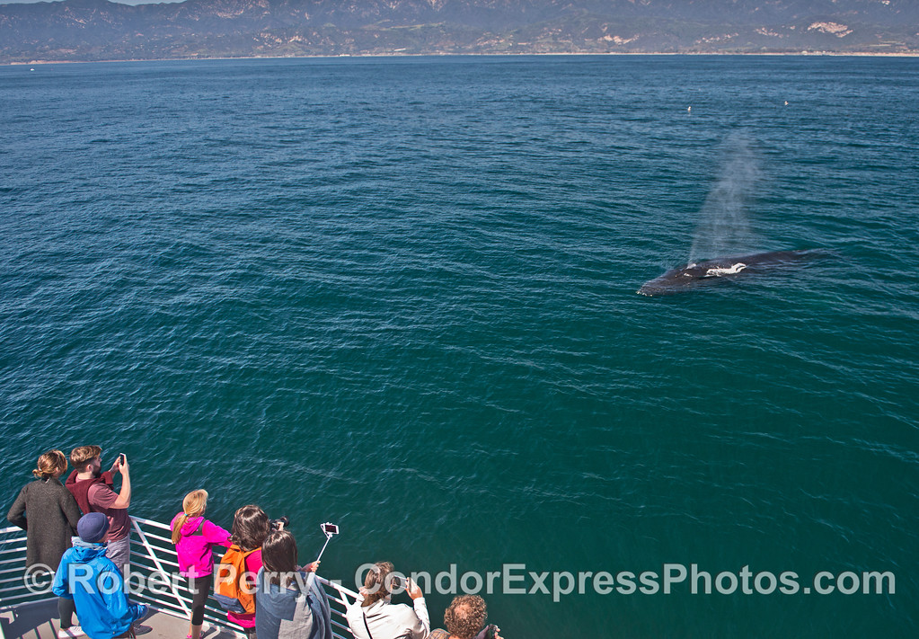 Here he comes !!  A humpback whale approaches the boat.
