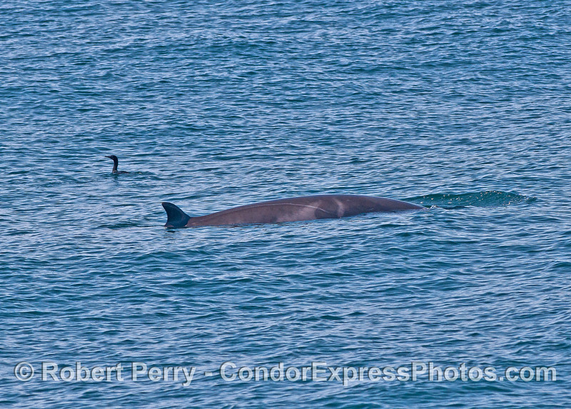 A small Minke whale with a Brandt's cormorant for size comparison.