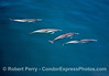 Long-beaked common dolphins - underwater view.