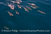Long-beaked common dolphins - group on a large open ocean wave.