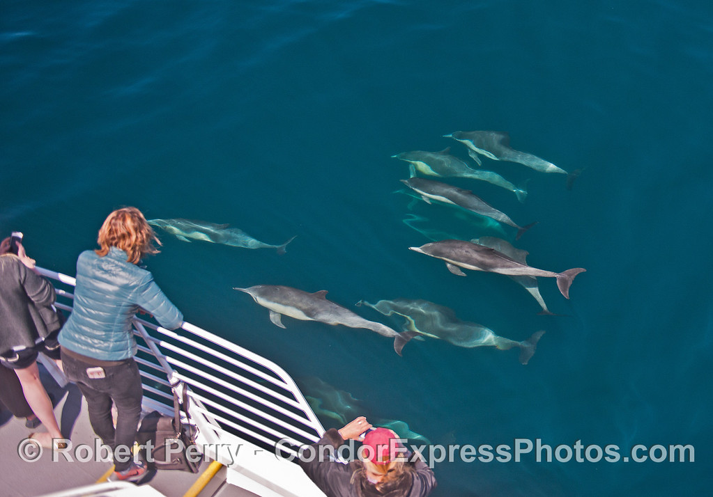 Long-beaked common dolphins - and passengers.