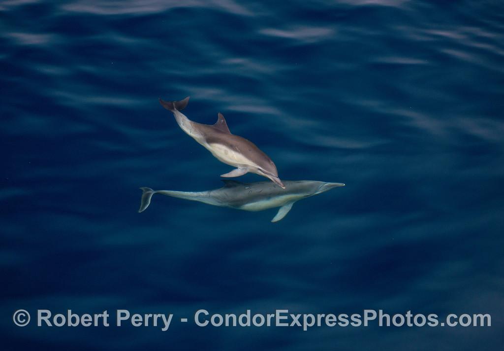 Common dolphins underwater.