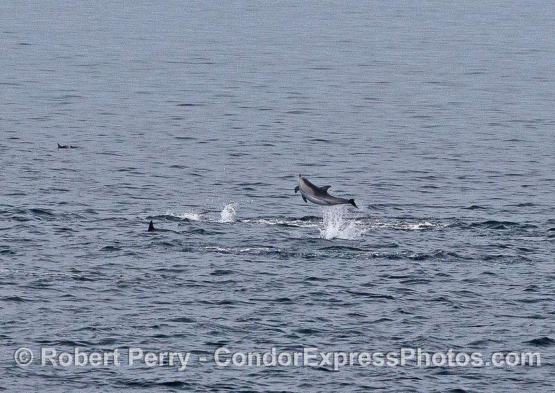 An exhuberant common dolphin.