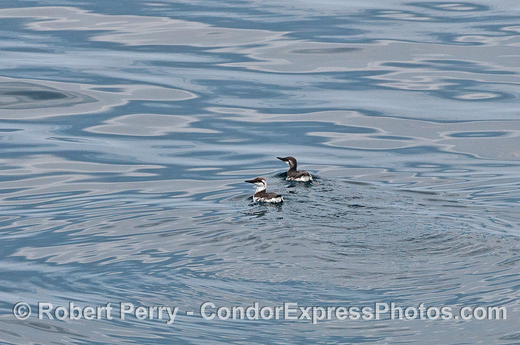 Two common murres on the surface.