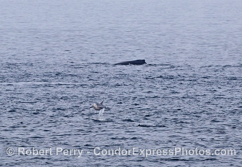 Humpack whale and leaping short-beaked common dolphin.