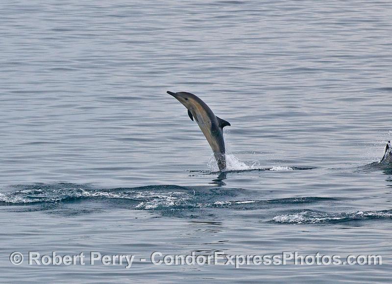 Tail-walking short beaked common dolphin.