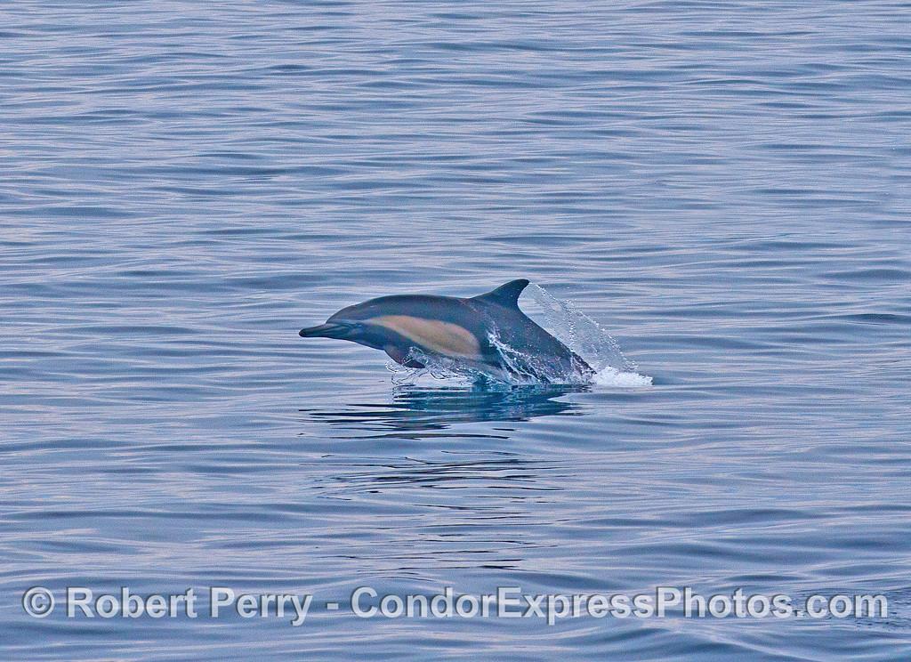 Short beaked common dolphin.