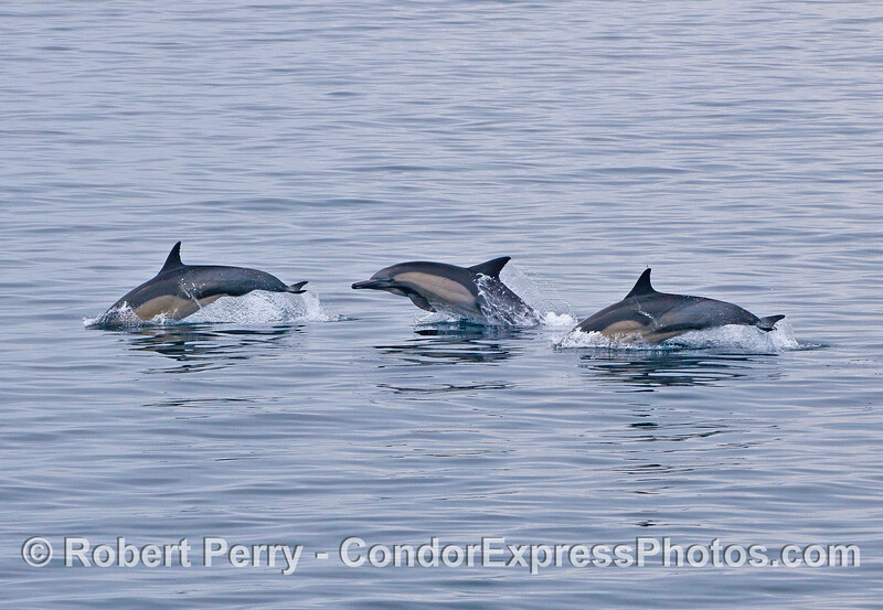 Short beaked common dolphins.