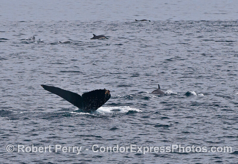 Humpback whale and common dolphins.