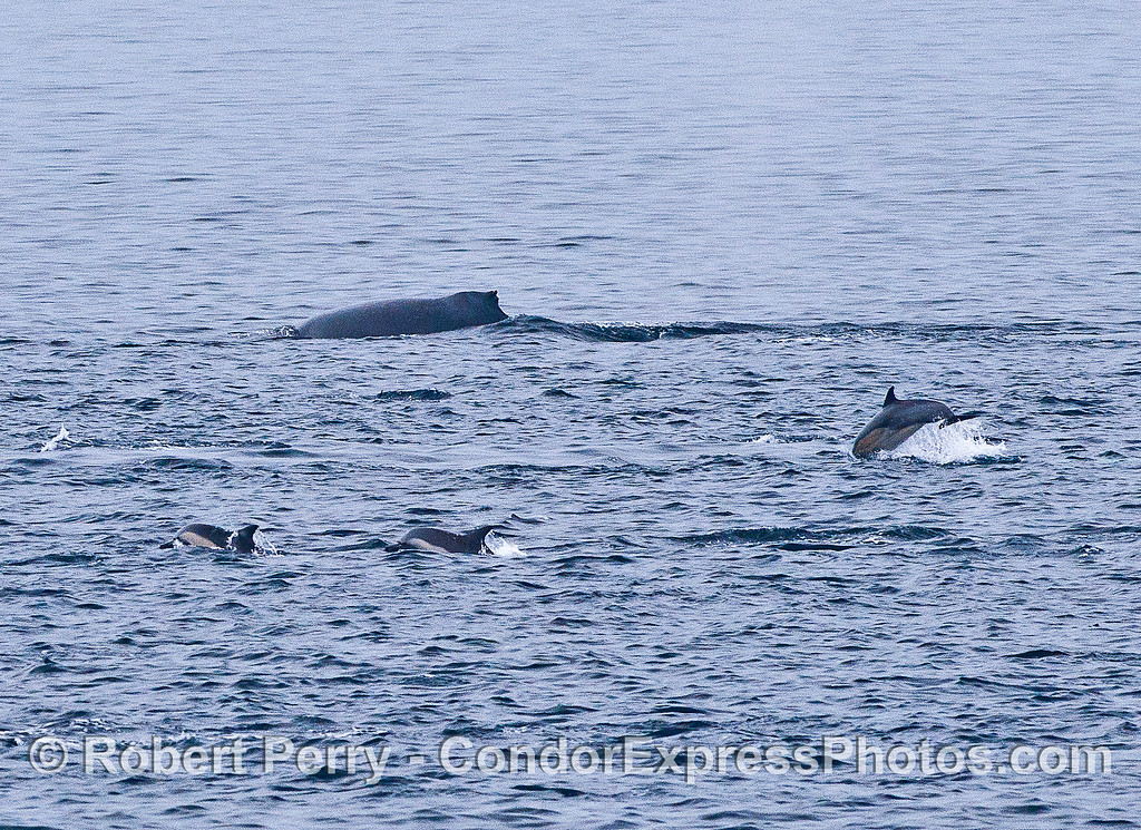 Humpack whale and short-beaked common dolphins.