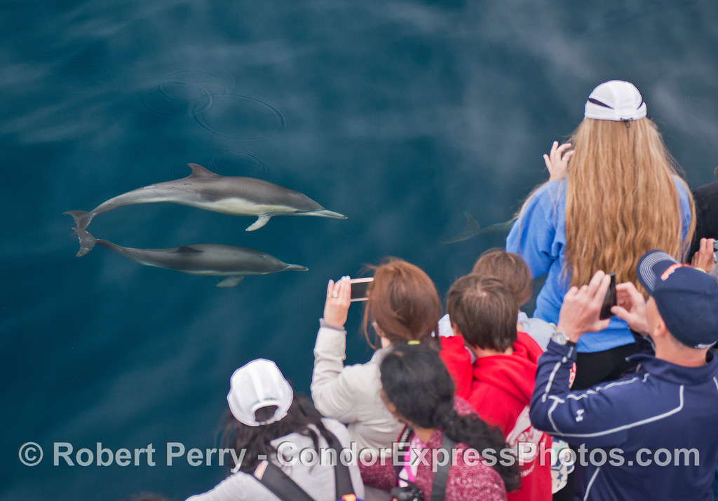 Short beaked common dolphins get friendly.