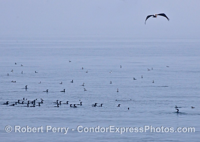 Mixed seabirds on the water including western grebes, Brandt's cormorants, and common murres.