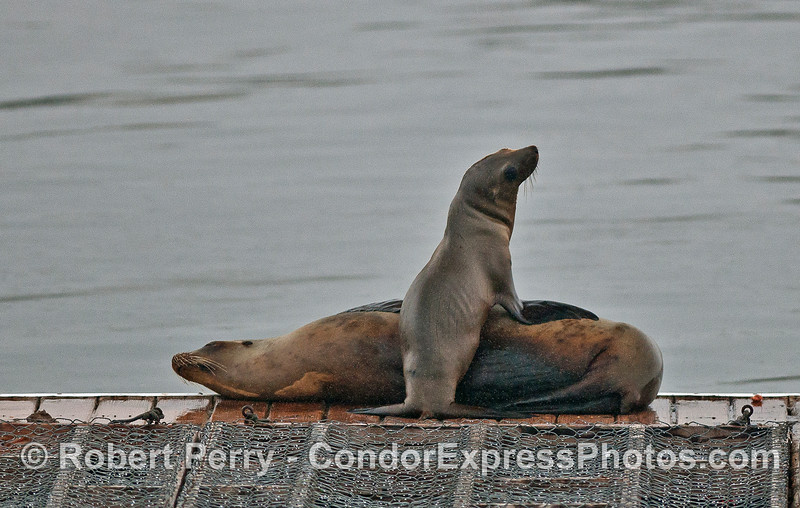 California sea lions on Harbor bait barge.