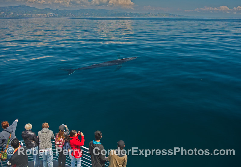 Very close look at the whole body of a friendly humpback whale in moderately clear water.