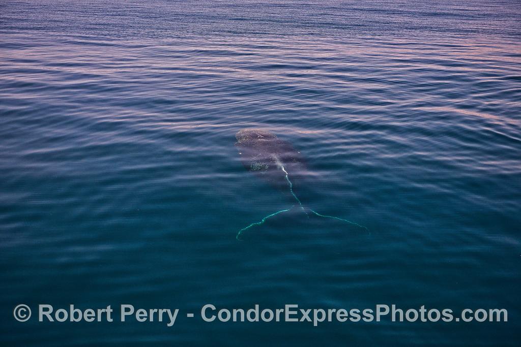 Humpback whale underwater.