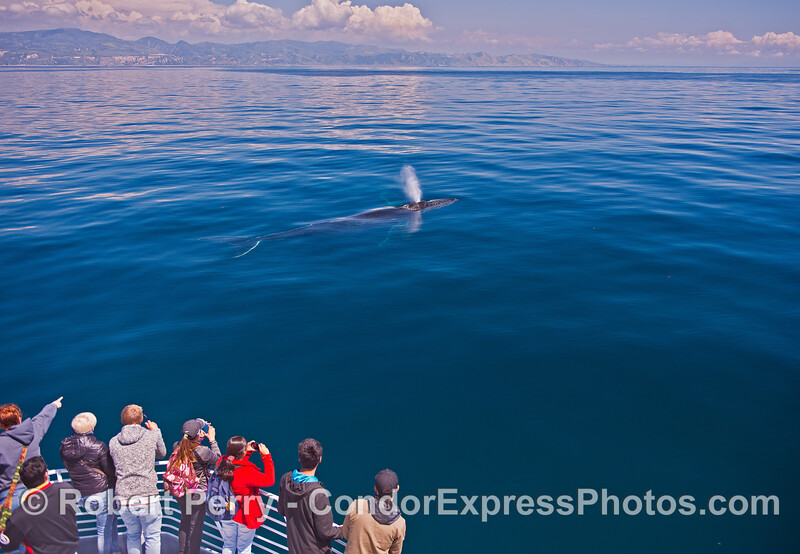 Clear blue water reveals a very friendly humpback whale with a whole-body view very close to its fan club on the boat.