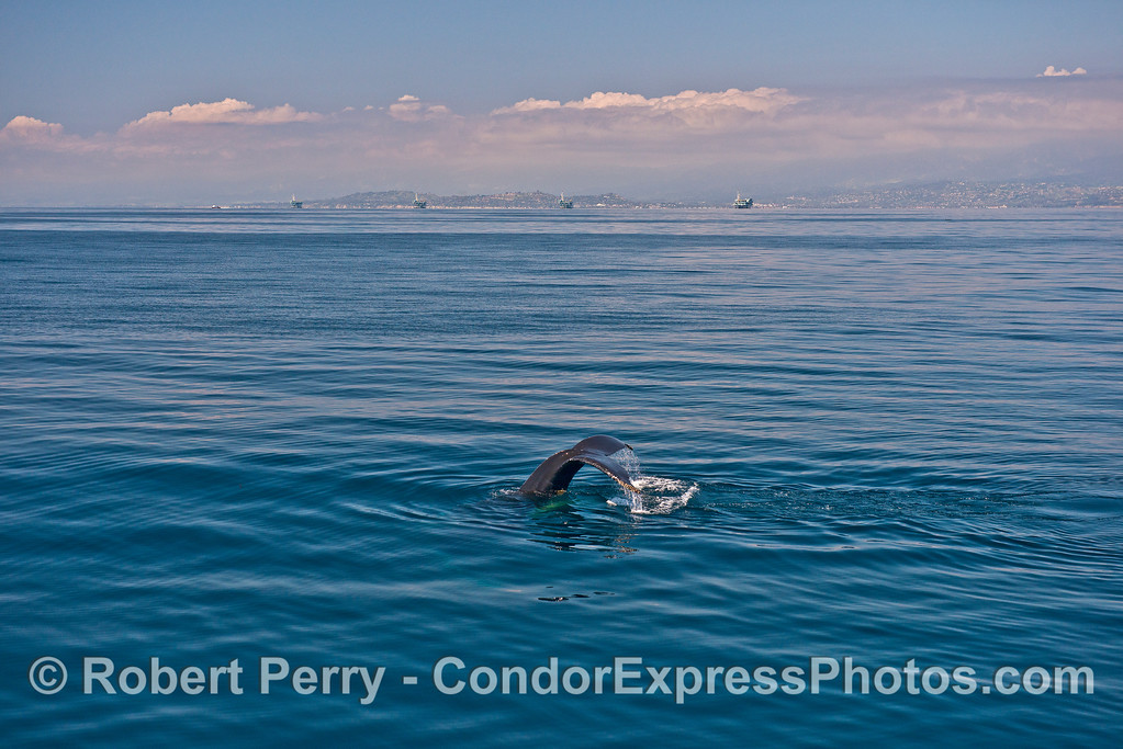 Humpback whale tail flukes with offshore oil platforms and Santa Barbara in background.