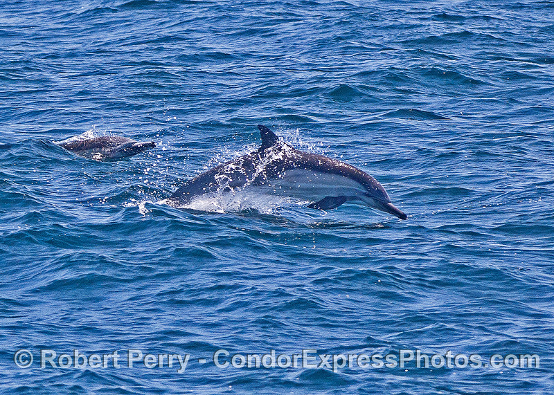"Long-beaked common dolphins on the ""run."""